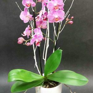 Orchidée Phaléanopsis