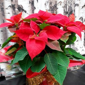 Poinsettias de Noel