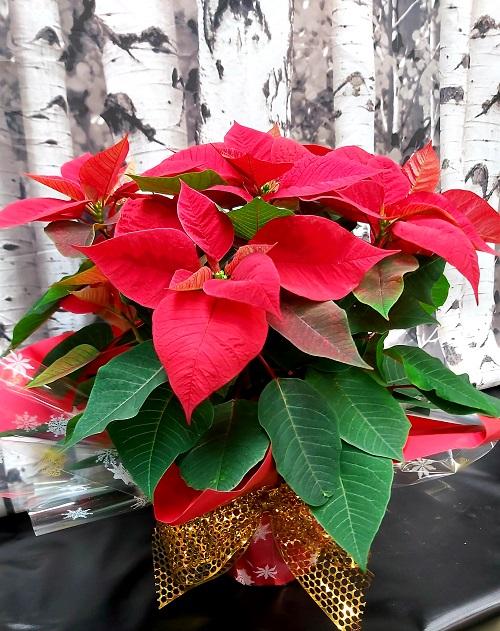 Poinsettias de Noel