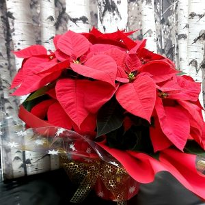 Poinsettia 2 tiges
