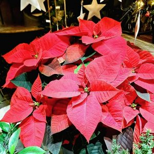 Poinsettia 3 tiges